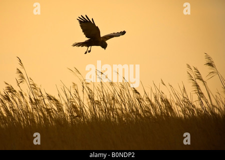 Marsh harrier Circus aeruginosus male in flight hunting over reedbed in early morning, Norfolk - Stock Photo
