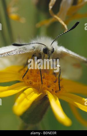 apollo Parnassius apollo butterfly farfalla insect insetto prateria alpina dal Money montagna Cogne Parco Nazionale - Stock Photo