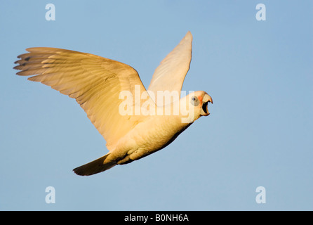 A Little Corella (Cacatua sanguinea) cockatoo in flight with beak wide open. Australia - Stock Photo
