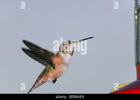 An [Allen's Hummingbird] approaching a nectar feeder - Stock Photo
