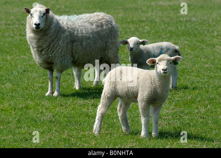 Sheep with lambs in the Hertfordshire countryside. - Stock Photo
