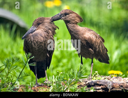 Two Hammerkops (scopus umbretta) birds preening each other - Stock Photo