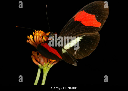The beautiful butterfly called The Postman in Metropolitan park, Republic of Panama. - Stock Photo