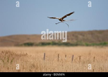 Marsh harrier Circus aeruginosus female in flight carrying nest material, Norfolk. - Stock Photo