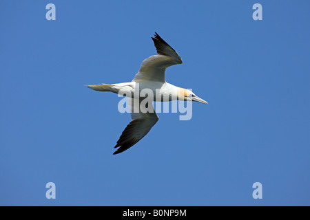 Northern Gannet Sula bassana adult in flight against a blue sky - Stock Photo