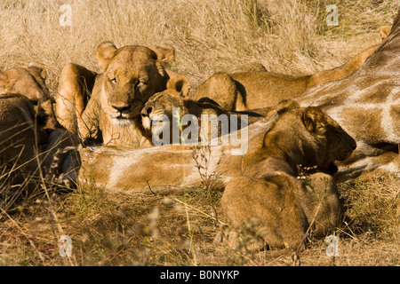 Lion cub Panthera Leo affectionately rubs head on adult female lion lying beside carcass of giraffe recently killed - Stock Photo