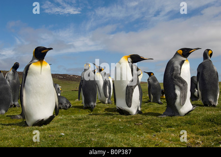 Wide and low angle portrait of a group of King Penguins, Volunteer Point, Falkland Islands - Stock Photo