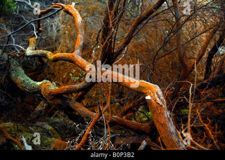 Tree branch covered in orange mineral deposit at Wai-o-tapu, near Rotorua, North Island, New Zealand - Stock Photo
