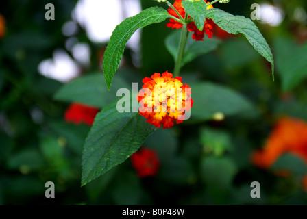Tiny colurful flowers Lantana - Stock Photo