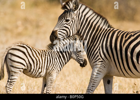 Protective mother & baby Zebra stand in Savuti Savanna Botswana, heads together in affectionate pose in soft  warm - Stock Photo