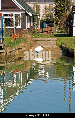 Swan on Surfleet Resevoir in the Lincolnshire Fens - Stock Photo
