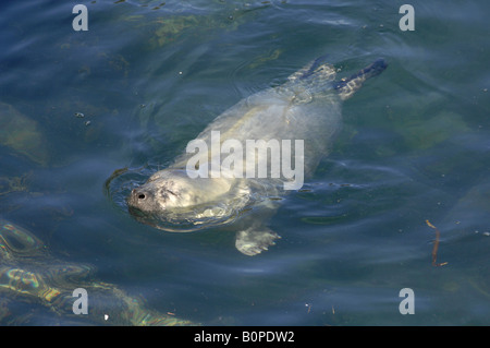 Atlantic Grey Seal pup Halichoerus grypus floating in water Martins Haven Pembrokeshire Wales UK Europe - Stock Photo