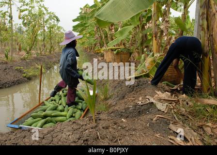 people  working at papaya farm, samut sakhon thailand - Stock Photo