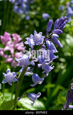 Close up view of bluebell flower genus hyacinthoides photographed in spring sunshine - Stock Photo