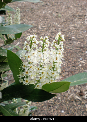 The spring fowers of Otto Lukyen English Laurel Prunus laurocerasus - Stock Photo