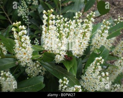 English Laurel Otto Lukyen (Prunus laurocerasus) - Stock Photo