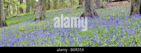 Bluebells in springtime in a Cotswold beechwood - Crickley Hill Country Park, Gloucestershire - Stock Photo