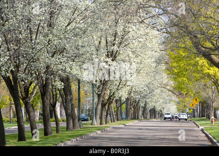 Harrison Boulevard lined with pear trees in bloom in Boise Idaho - Stock Photo