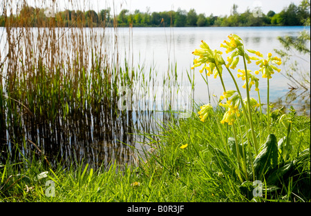 Mill Lake, a nature reserve in the Cotswold Water Park, Gloucestershire, England, UK, with a cowslip Primula veris - Stock Photo