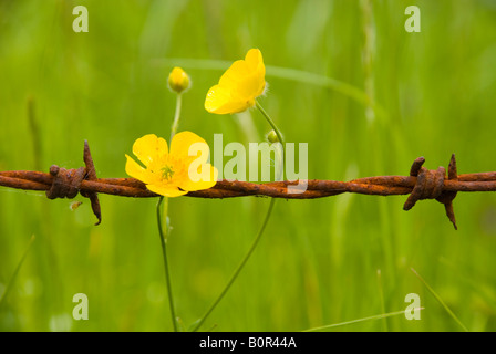 Batheaston Bath BaNES England UK Buttercup and rusty barbed wire - Stock Photo