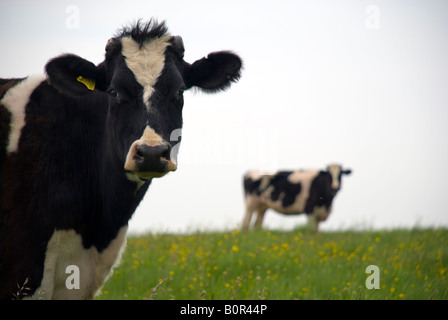Batheaston Bath BaNES England UK Cows in a meadow - Stock Photo