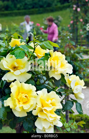 Paris France, Public Parks People Visiting Bagatelle Rose Garden in Boulogne Park, Detail 'Mary Cave Harmite' Rose - Stock Photo