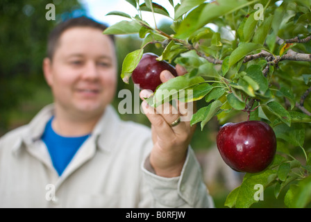 A Man Picks Apples In An Orchard On Farm