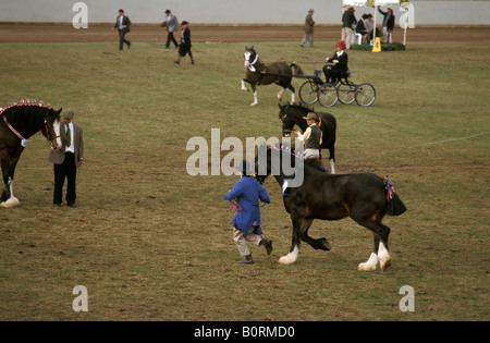 Competition in the Shire Horse Mare Class Sydney Royal Easter Show New South Wales Australia - Stock Photo