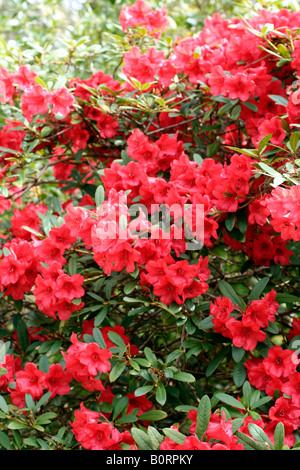 RHODODENDRON MAY DAY AGM - Stock Photo