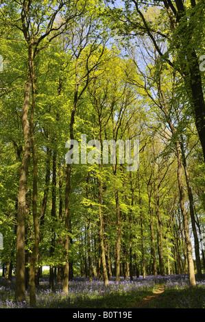 Beech trees in spring Chiltern Hills Hertfordshire UK - Stock Photo