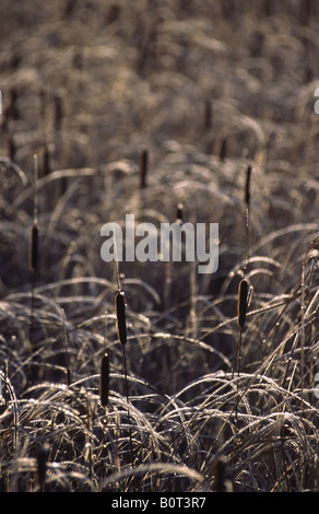 Reeds with morning frost. Bohuslan, Sweden. - Stock Photo