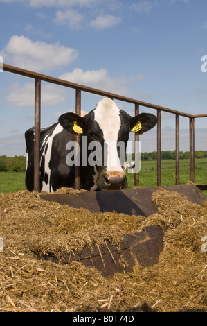 Holstein Cattle Cows Feeding At Trough On Fraser Valley