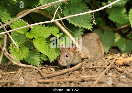 Brown Rat.. ( Rattus norvegicus) in sunlit undergrowth. - Stock Photo