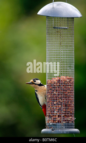 A female Great Spotted Woodpecker (Dendrocopos major) on a nut feeder (birdfeeder) in a Kent garden - Stock Photo