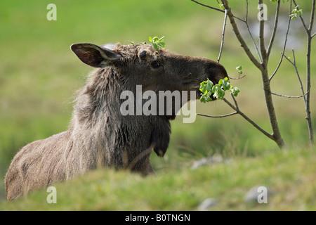 European Elk Moose Alces alces feeding from a sapling - Stock Photo