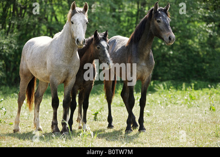 two connemaras with foal - standing on meadow - Stock Photo
