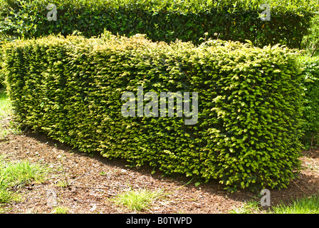 Yew hedge in May - Stock Photo