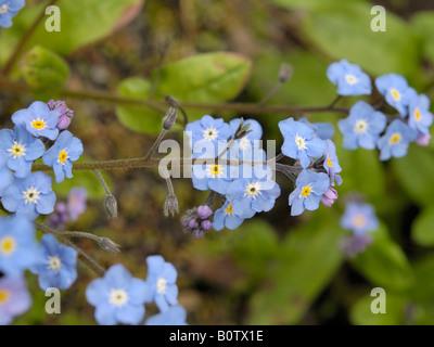 Field Forget-me-not, myosotis arvensis - Stock Photo