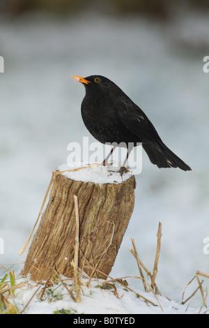 Blackbird (Turdus merula). Male standing on a tree stump in snow - Stock Photo