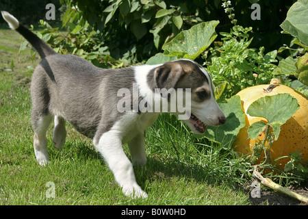 Chart Polski - puppy standing on meadow - Stock Photo