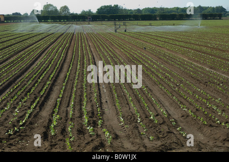 Irrigating lettuce plants Pocklington Yorkshire - Stock Photo