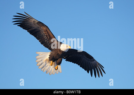 Bald Eagle (Haliaeetus leucocephalus). Adult in flight, USA - Stock Photo