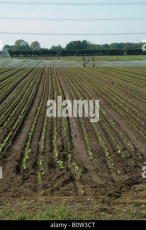 Crop sprayer irrigation of lettuce crop, East Yorkshire, UK - Stock Photo