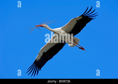 White Stork (Ciconia ciconia), flying with nest-building material, North Rhine-Westphalia, Germany, Europe - Stock Photo