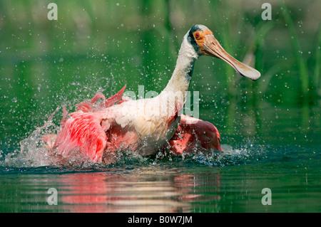 Roseate Spoonbill (Ajaja ajaja) bathing, Florida, USA - Stock Photo