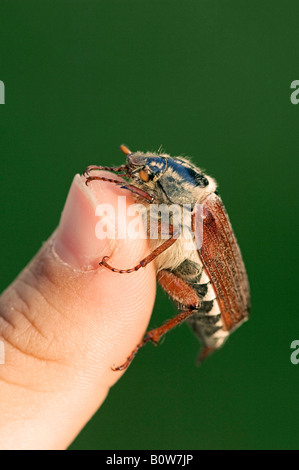 Cockchafer, May Bug (Melolontha melolontha) sitting on a thumb, North Rhine-Westphalia, Germany, Europe