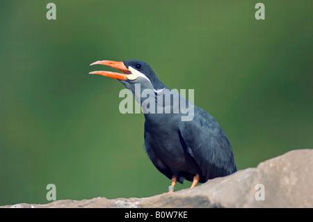 Inca Tern (Larosterna inca) calling - Stock Photo