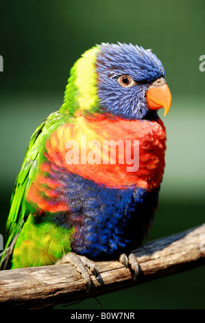 Rainbow Lorikeet or Swainson's Blue Mountain Lory (Trichoglossus haematodus moluccanus) - Stock Photo