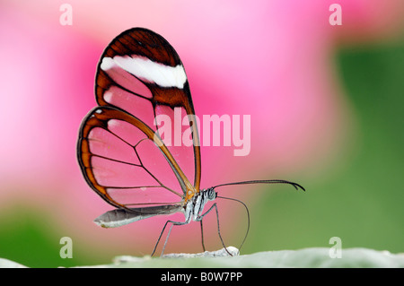 Glasswing - or Glass Wing Butterfly (Greta oto) - Stock Photo