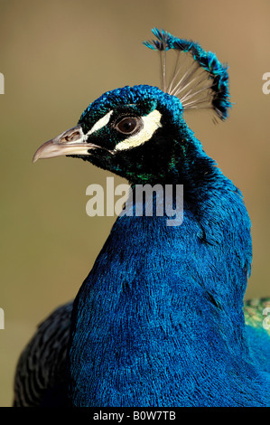 Blue Peacock or Indian Peafowl (Pavo cristatus), male - Stock Photo